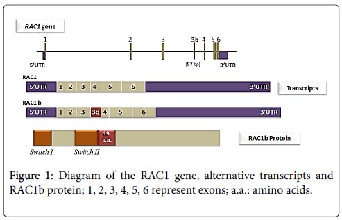 advances-molecular-diagnostics-Diagram-RAC1-gene-alternative-transcripts