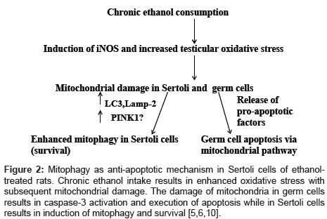 alcoholism-and-drug-dependence-Mitophagy-anti-apoptotic
