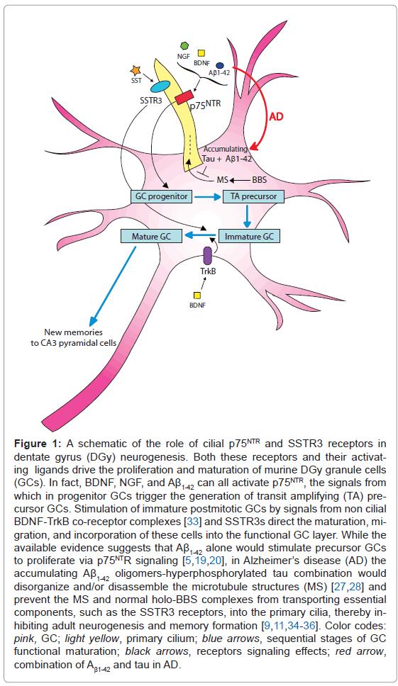 alzheimers-disease-parkinsonism-proliferation-maturation