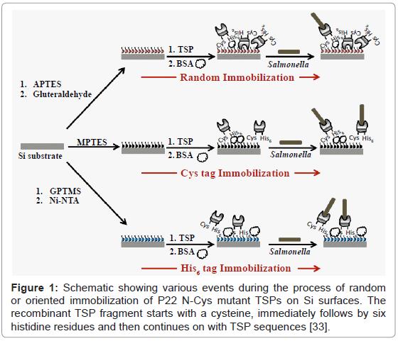 analytical-bioanalytical-techniques-random-oriented-immobilization