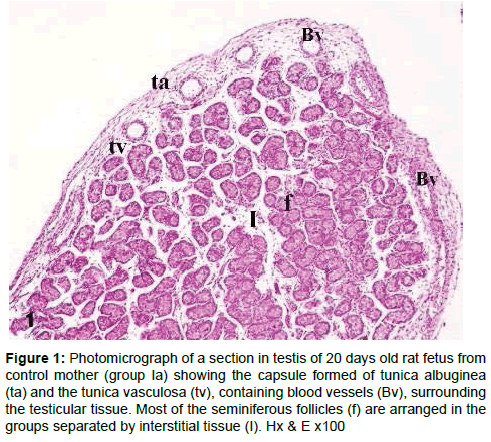 Developmental Characteristics Of Rat Testicular Tissue And The