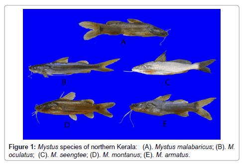 aquaculture-research-development-Mystus-species
