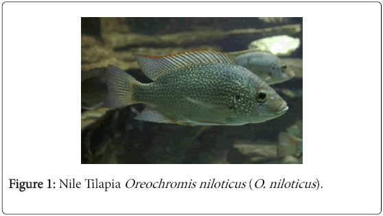 helminth parasites of nile tilapia The economical value of nile tilapia fish oreochromis niloticus in relation to water quality of lake nasser, egypt  fishes (383%) out of 60 were found positive for helminth parasites the positive hosts were infected with nematodes (712%) and trematodes (288%) in the larval stage, whose incidence was restricted to the gills only and.