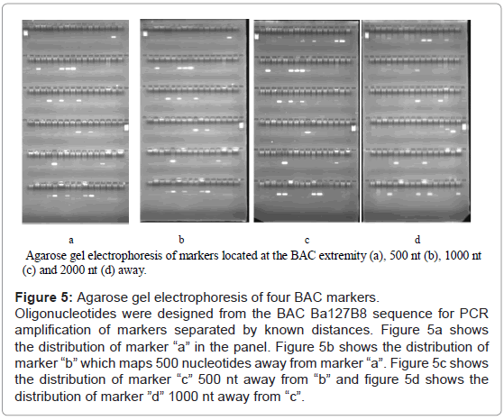 aquaculture-research-development-agarose-bac-markers