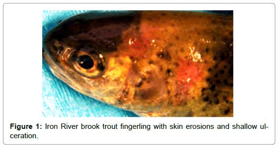 aquaculture-research-development-iron-river-skin-erosions