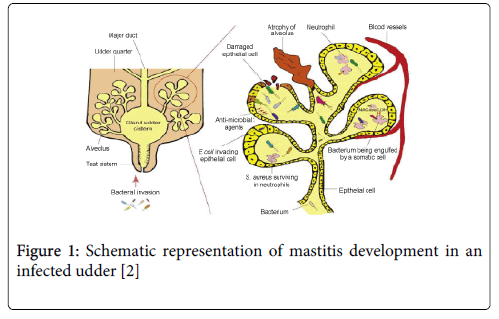 Mastitis In Camels In African And Middle East Countries Omics