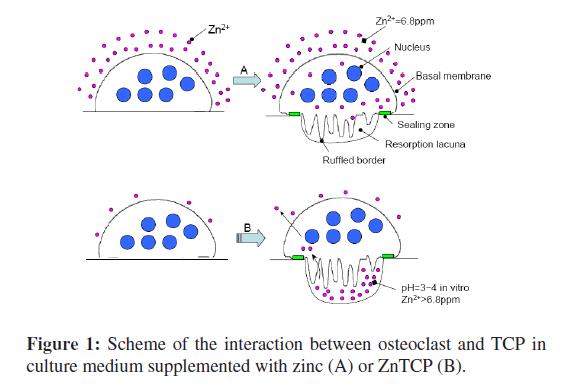 bioceramics-development-applications-Scheme-interaction-osteoclast