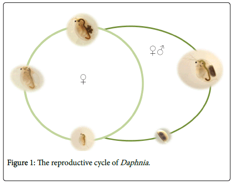 biodiversity-endangered-species-reproductive-cycle-Daphnia