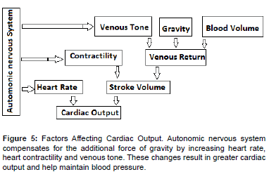 bioengineering-biomedical-science-Factors-Cardiac-Output