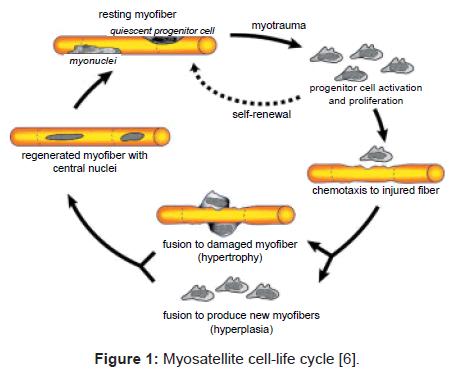 bioengineering-biomedical-science-myosatellite-cell-life