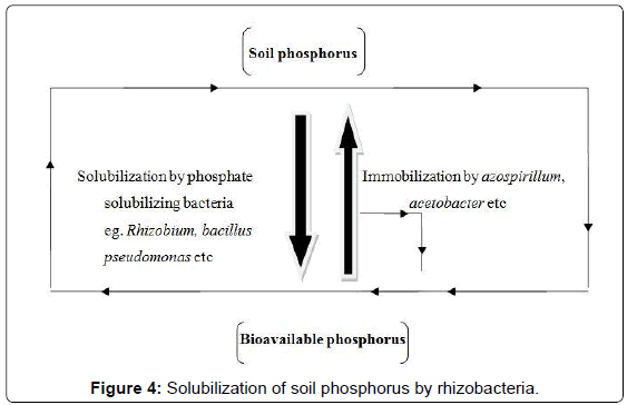 thesis on phosphate solubilizing bacteria Muralikannan, m: biodisolution of silicate, phosphate and potassium by silicate solubilizing bacteria in rice ecosystem msc (agri) thesis, tamil nadu agric univ, combatore (1996) priyanka, p and sindhu, ss: potassium solubilization by rhizosphere bacteria: influence of nutritional and environmental conditions j.