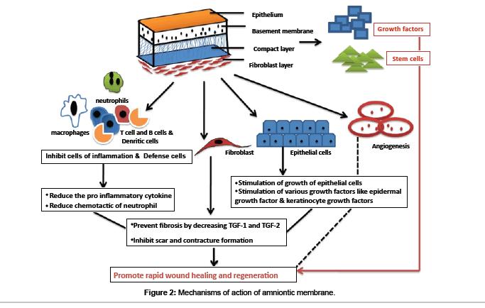 biomimetics-biomaterials-amniontic-membrane