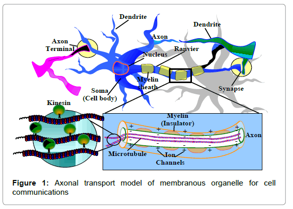 biosensors-bioelectronics-axonal-transport-model