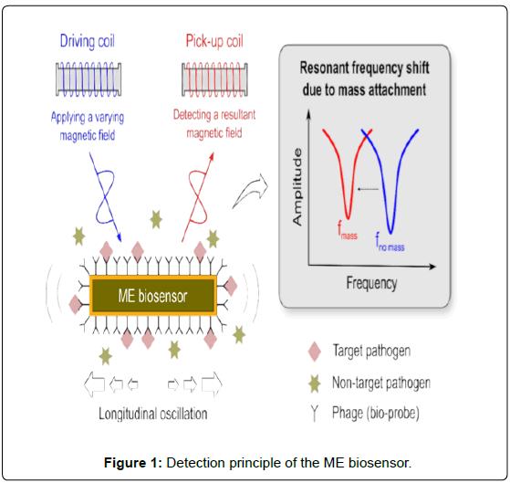biosensors-journal-Detection-principle-ME-biosensor