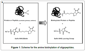 biosensors-journal-Scheme-amine-biotinylation-oligopeptides