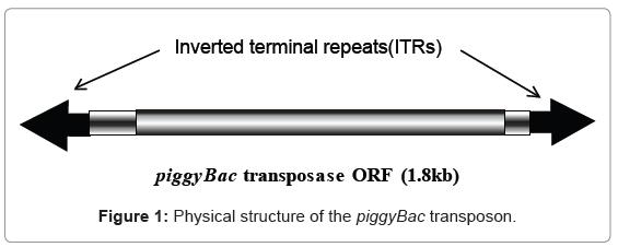 biotechnology-biomaterials-piggyBac-transposon