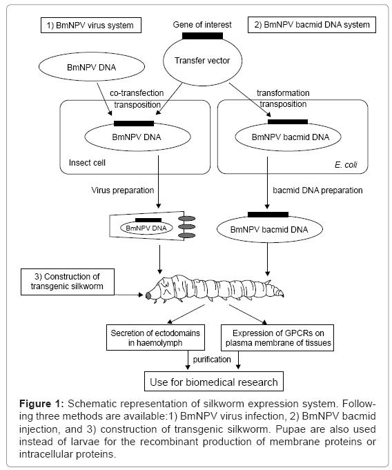 Silkworm Baculovirus Expression System for Molecular