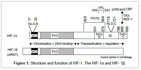 diabetes inhibición hif-1