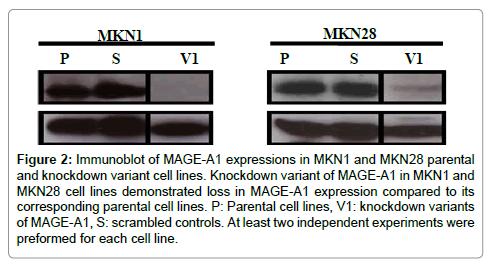 carcinogenesis-mutagenesis-Immunoblot-MAGE