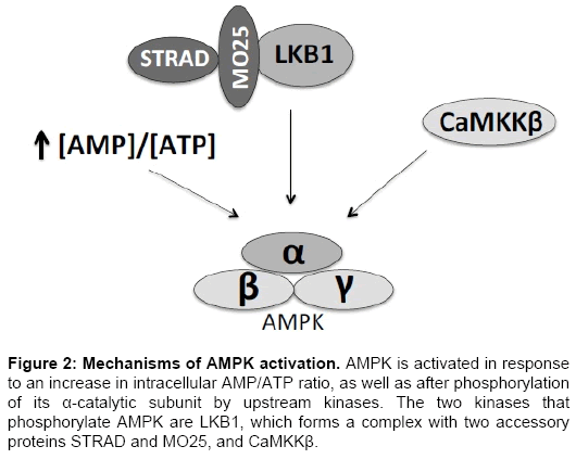cardiovascular-pharmacology-AMPK-activated-response