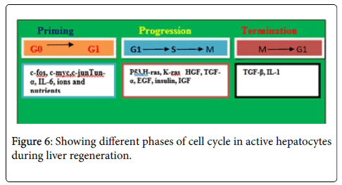 cell-science-therapy-cell-cycle