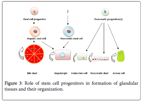 cell-science-therapy-cell-progenitors