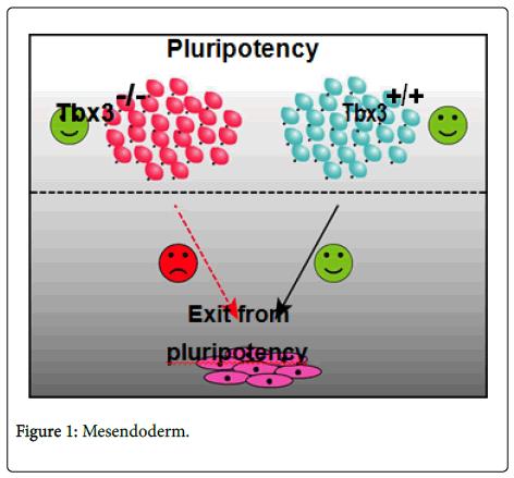 cell-signaling-Mesendoderm