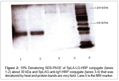 chromatography-separation-techniques-Denaturing-SDS-PAGE