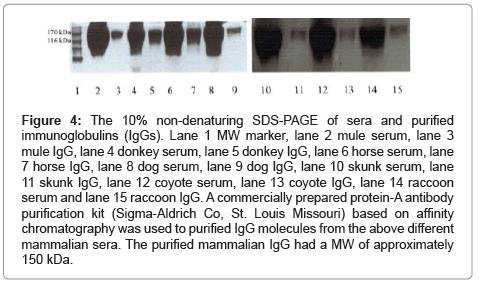 chromatography-separation-techniques-SDS-PAGE