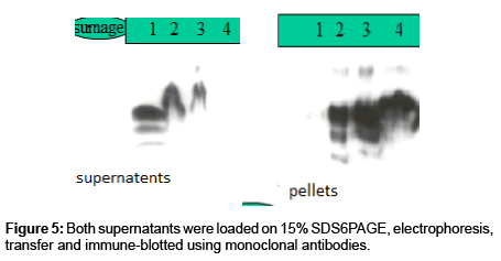 chromatography-separation-techniques-immune-blotted