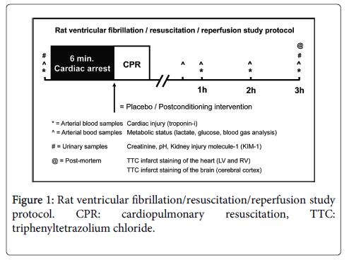 clinical-experimental-cardiology-Rat-ventricular