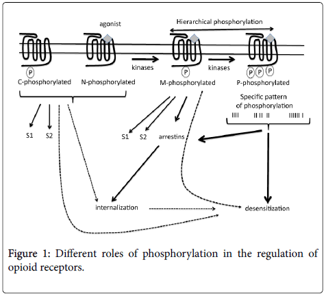 clinical-pathology-opioid-receptors