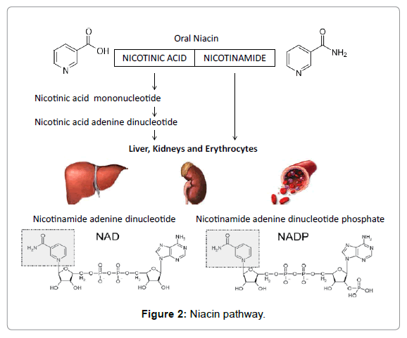 clinical-toxicology-Niacin-pathway