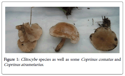 clinical-toxicology-clitocybe-species