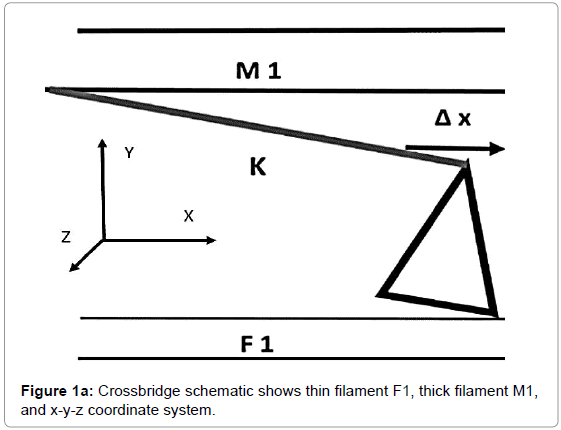 computer-science-systems-biology-Crossbridge-schematic-filament