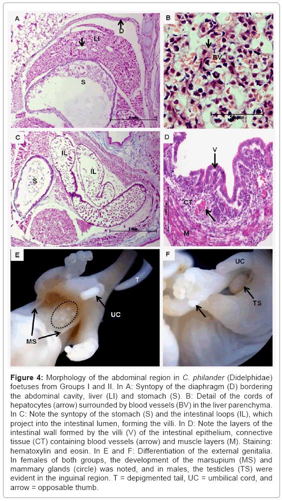 cytology-histology-abdominal-region