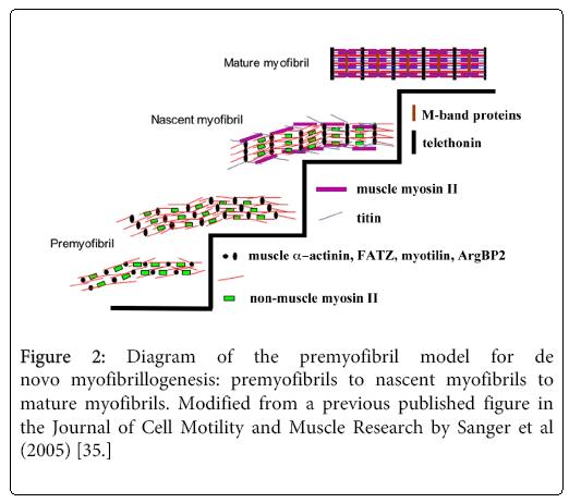 cytology-histology-premyofibril-model