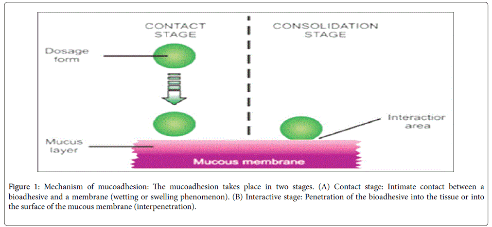 developing-drugs-mucoadhesion