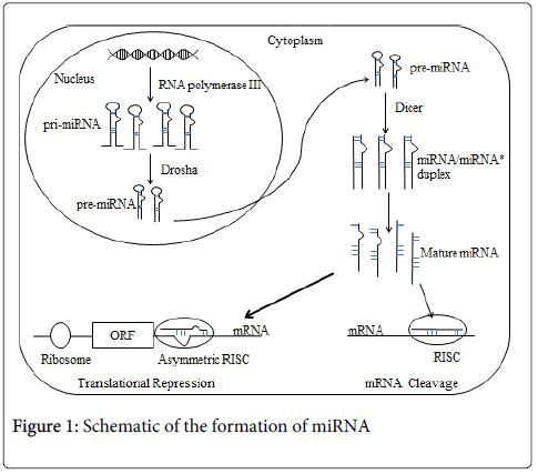 diabetes-metabolism-formation-miRNA