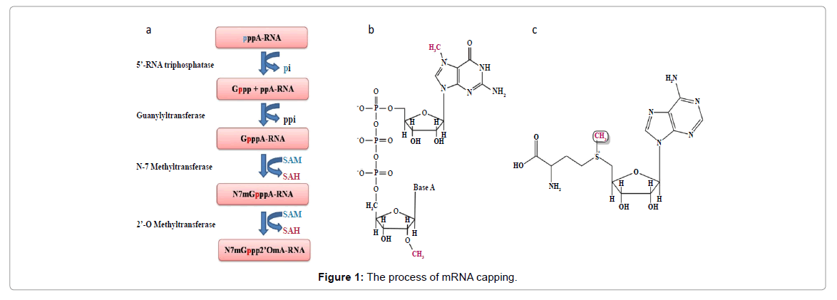 emerging-infectious-diseases-process-of-mrna-capping