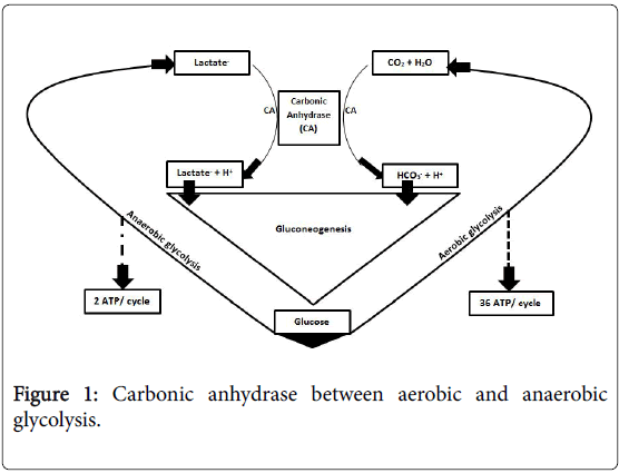 endocrinology-metabolic-syndrome-Carbonic-anhydrase