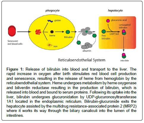 environmental-analytical-toxicology-bilirubin-blood-transport