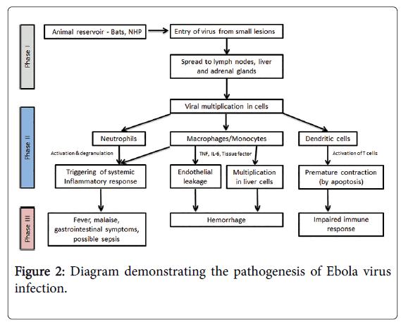 epidemiology-pathogenesis-Ebola-virus