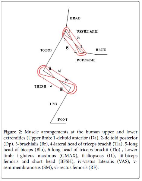 ergonomics-Muscle-arrangements