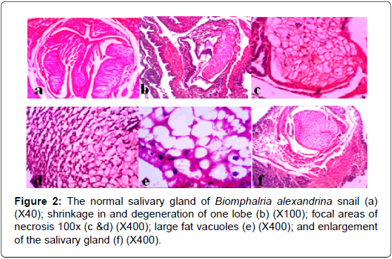 fisheries-and-aquaculture-normal-salivary-gland