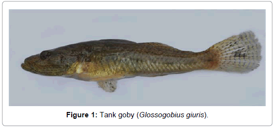 fisheries-livestock-production-tank-goby