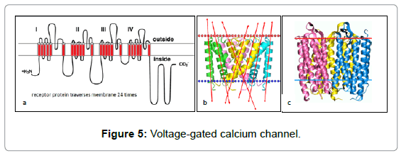 fluid-mechanics-voltage-gated-calcium-channel