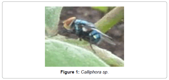 forensic-research-Calliphora-sp