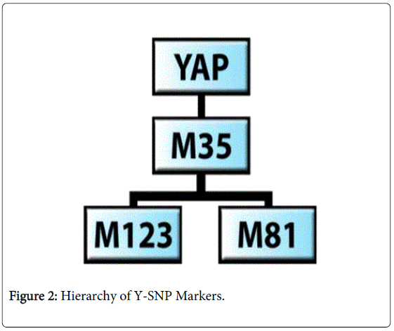 forensic-research-Hierarchy-Y-SNP-Markers