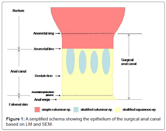gastrointestinal-digestive-epithelium-surgical-anal-canal
